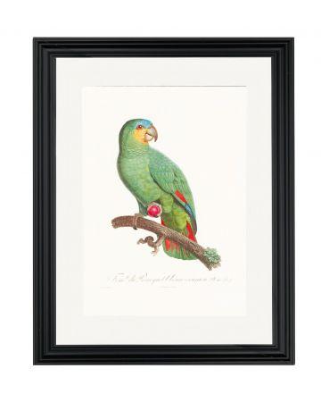 Parrot VII - Jacques Barraband