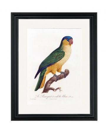 Parrot VIII - Jacques Barraban