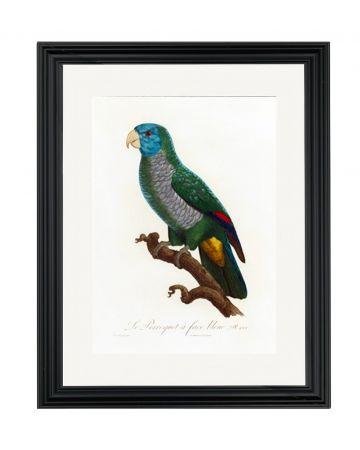 Parrot IX - Jacques Barraband