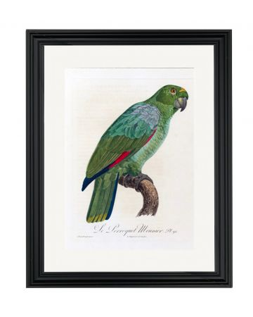 Parrot V - Jacques Barraband