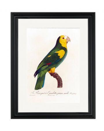 Parrot VI - Jacques Barraband